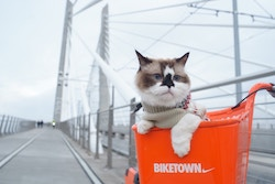 Cat in a bicycle basket