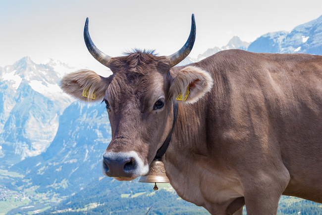 Brown Swiss cow with cowbell in Swiss mountain pasture